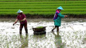 Chinese Farmers transplanting rice plant seedlings.