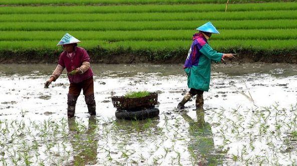 Chinese Farmers transplanting rice plant seedlings.